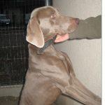 SPA chien à adopter Nestor ADOPTE