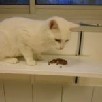 SPA chat à adopter Bijou ADOPTE