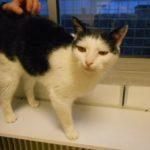 SPA chat à adopter Minou ADOPTE
