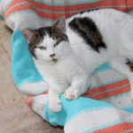 SPA chat à adopter Missie ADOPTEE