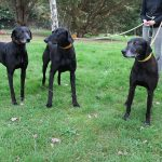 SPA chien à adopter Consul, Mala et Polo