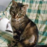 SPA chat à adopter Hortense ADOPTEE