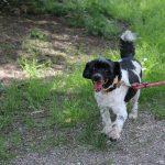 SPA chien à adopter Vagabond