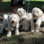 SPA chien à adopter Bichons mâles ou femelles ADOPTES