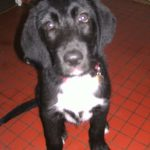SPA chien à adopter Ziggy ADOPTE