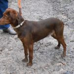 SPA chien à adopter Tina ADOPTEE