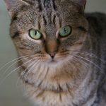 SPA chat à adopter Aslan ADOPTE