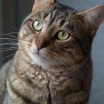 SPA chat à adopter Léo ADOPTE
