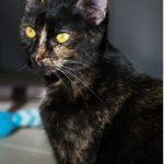 SPA chat à adopter Cléa ADOPTEE