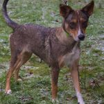 SPA chien à adopter Zaya ADOPTEE
