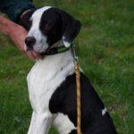 SPA chien à adopter Oréo ADOPTE