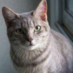 SPA chat à adopter Louna ADOPTEE
