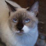 SPA chat à adopter Samantha ADOPTEE