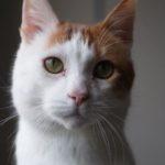 SPA chat à adopter Pelotte ADOPTE