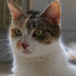 SPA chat à adopter Léona ADOPTEE