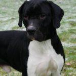 SPA chien à adopter Popi